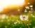 flying seeds of dandelion